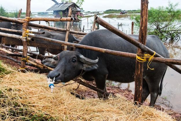 Tajlandzki rodzimy wodnego bizonu gospodarstwo rolne przy południe tajlandia.