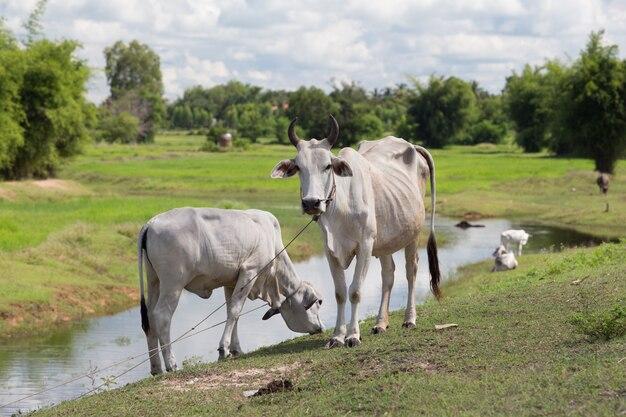 Tajska krowa wihte