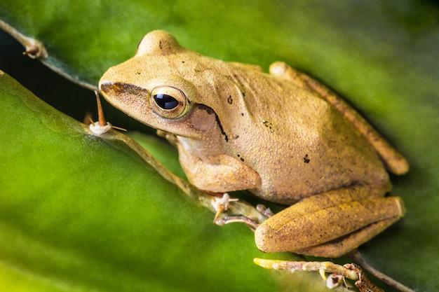 Tajska mała żaba, pad, kiet