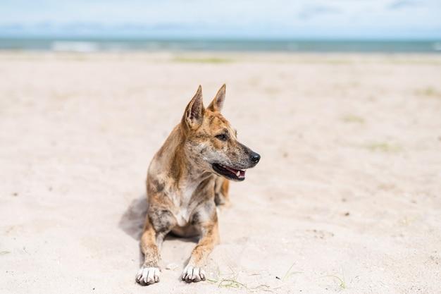 Tajski bezpański pies siedzieć na piasku nad morzem latem na plaży cha-am, petchburi, tajlandia. portret relaks zwierząt domowych.