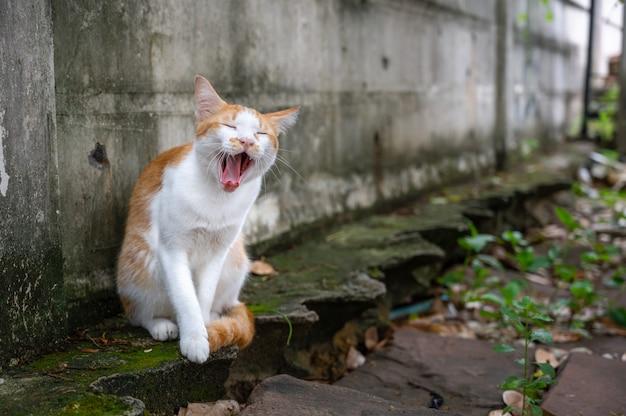 Tajski pręgowany kot ziewanie przy ścianie.