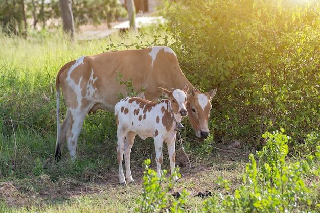 Tajskie krowy stojące jedzą trawę na ziemi w polnej wsi w tajlandii