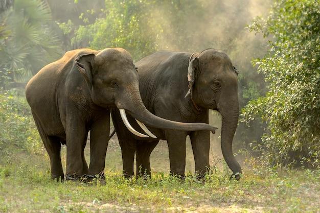 Tajskie słonie żyją w dżungli
