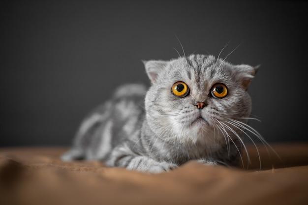 Taki słodki kot szkocki zwisłouchy.