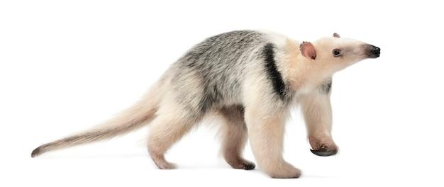 Tamandua, tamandua tetradactyla, 3 lata, idąca na tle białej przestrzeni