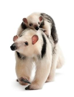 Tamandua, tamandua tetradactyla matka, 3 lata i dziecko, 3 miesiące, chodzą na tle białej przestrzeni