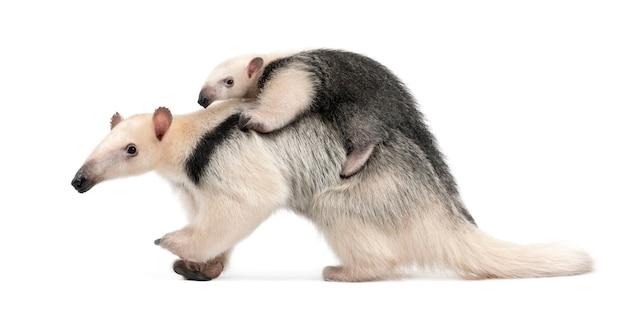 Tamandua, tamandua tetradactyla matka i dziecko, chodzenie na białej ścianie na białym tle