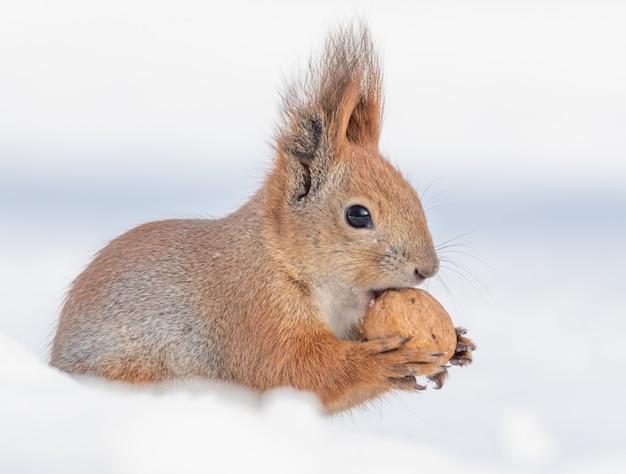 Tamia sciurus hudsonicus wiewiórka na białym śniegu.