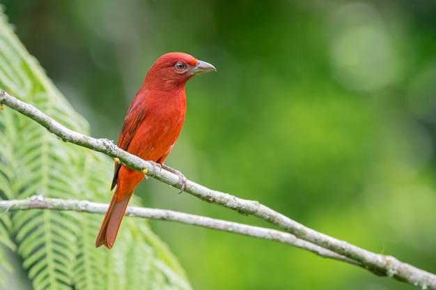 Tanager rudy przysiadł na małych gałęziach, starannie otaczając otoczenie