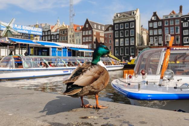 Tańczący kanał domy damrak, amsterdam, holandia