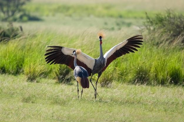 Taniec koronowany żuraw park narodowy murchison falls uganda afryka