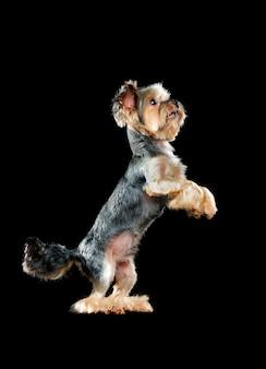 Taniec na tylnych łapach yorkshire terrier na czarnym