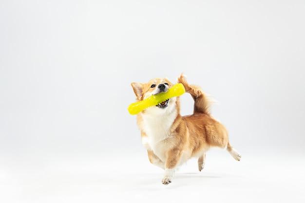 Taniec z ekstrakcją. welsh corgi pembroke szczeniak w ruchu. ładny puszysty piesek lub zwierzę bawi się na białym tle. zdjęcia studyjne. spacja w negatywie, aby wstawić tekst lub obraz.
