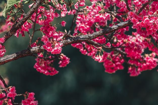 Tapeta cherry blossom i sakura