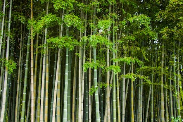Tapeta i natura, bamoock drzewa w ogrodzie botanicznym w tbilisi.