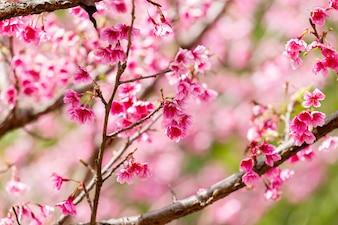 Tapeta z kwiatem wiśni i Sakury
