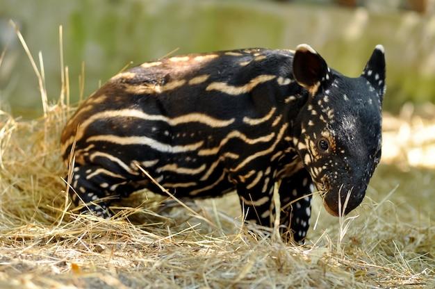 Tapir dziecięcy