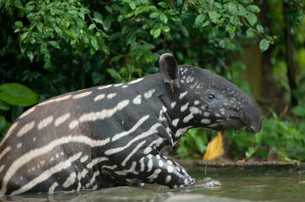 Tapir malajski (tapirus indicus) w wodzie