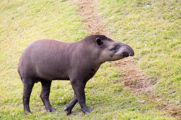 Tapir nizinny, znany również jako tapir, jest ssakiem perysodaktylowym z rodziny tapiridae