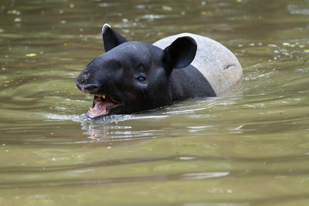Tapir pływający w rzece w lesie.