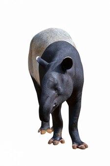 Tapir stojący na białym tle.