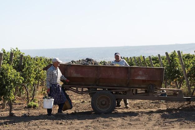 Taraclia, mołdawia, 15.09.2020. rolnicy zbierający winogrona z winnicy. zbiór jesienny.