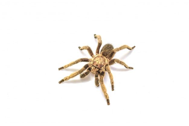 Tarantula odizolowywająca na białym tle