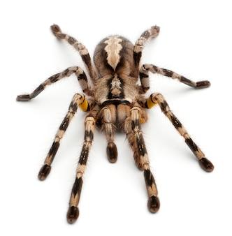 Tarantula pająk, poecilotheria fasciata przed białym tłem