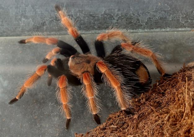 Tarantula, pająk
