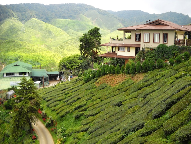Taras plantacji herbaty na zboczu wzgórza.