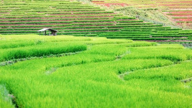 Tarasowaty zielony ryżowego irlandczyka pole w chmurnym dniu, chaingmai, tajlandia