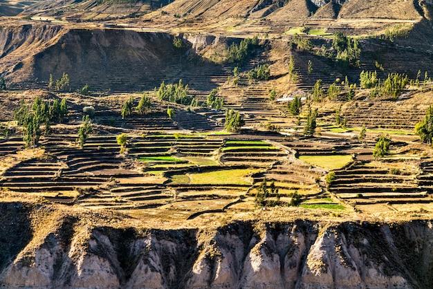 Tarasowe pole w kanionie colca w peru