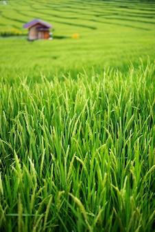 Tarasowe zielone niełuskane pole ryżowe z małą bambusową chatką, chiang mai, tajlandia