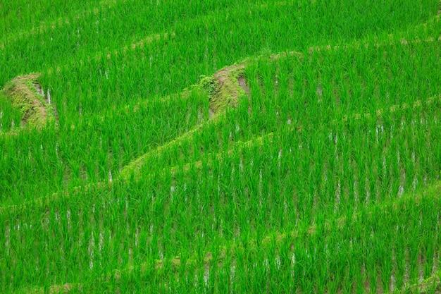 Tarasy pola ryżowego w wiosce pa bong paing, chiang mai, tajlandia