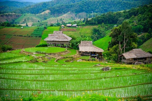 Tarasy ryżowe pa pong piang na północy tajlandii chiangmai.