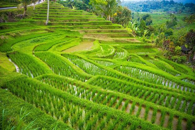 Tarasy ryżowe w górach bali indonezja