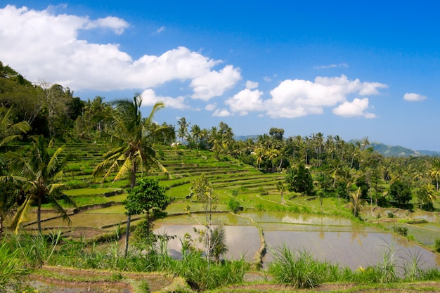 Tarasy z zielonym ryżem