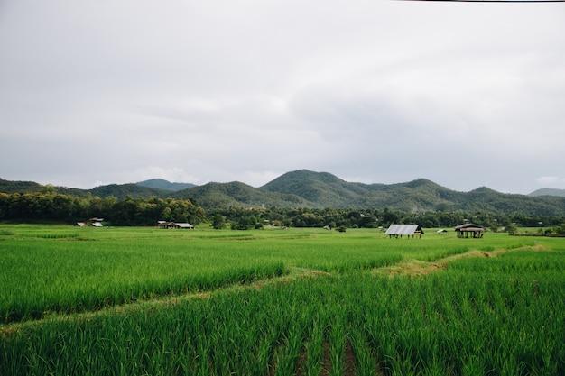 Tarasy zielonego ryżu na północy tajlandii (pai)