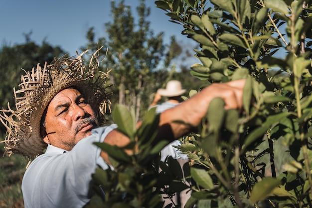 """""""tarefero"""". lokalny rolnik zajmujący się zbiorem rośliny yerba mate."""