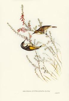 Tasmanski miód-zjadacz (meliphaga australasiana) zilustrowany przez elizabeth gould