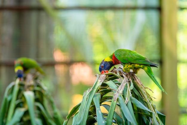 Tęcza lorikeet papugi w zielonym parku. park ptaków, dzika przyroda