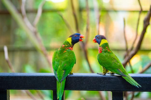 Tęcza lorikeet papugi w zielonym parku.