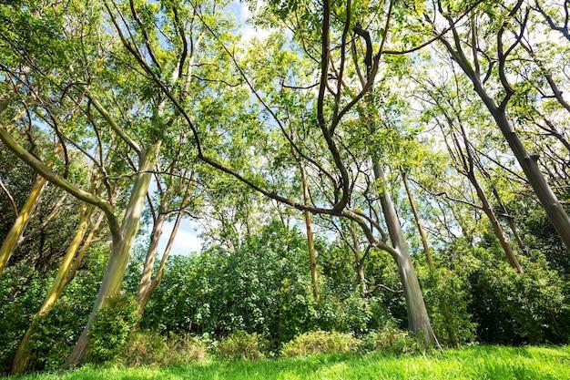Tęczowe drzewo eukaliptusowe na wyspie maui, hawaje