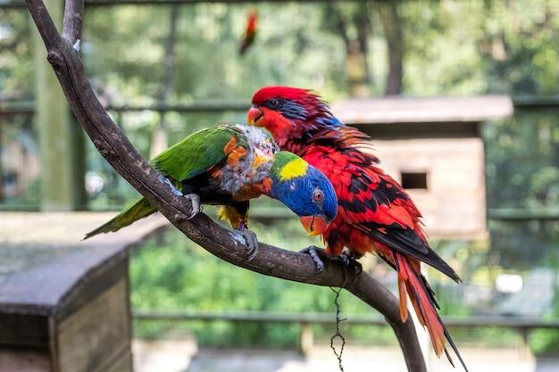 Tęczowe i czerwone lorikeets siedzą na gałęzi w ptaszarni w kuala lumpur bird park.