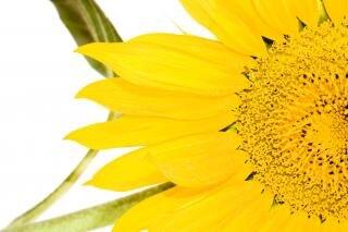 Tekst wzrostu słonecznika