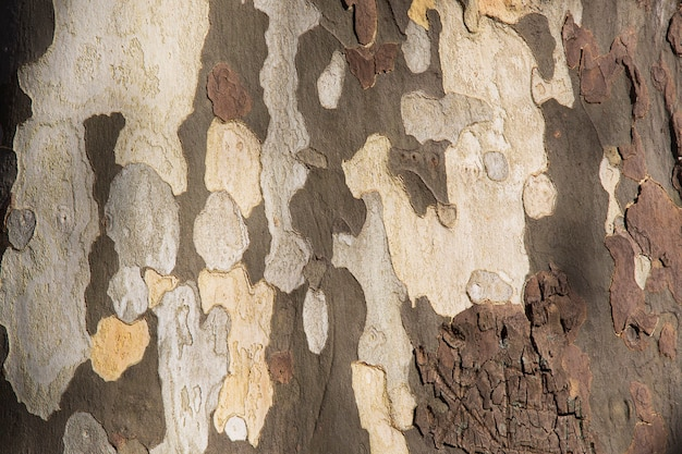 Tekstura amerykańskiego jawora platanus occidentalis, kory platanu w soczi
