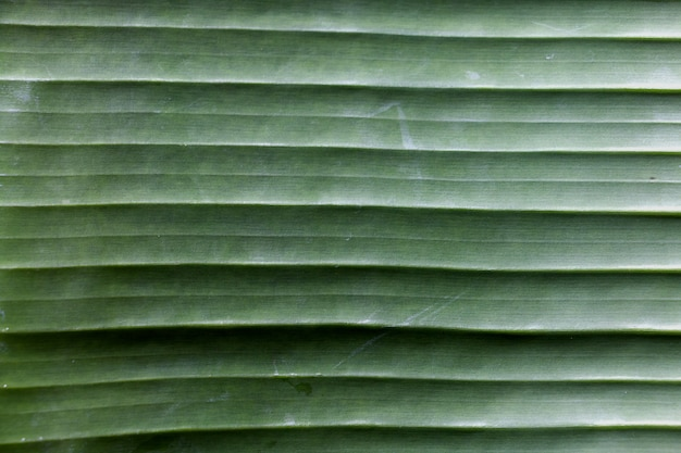 Tekstura bananowy liścia tło