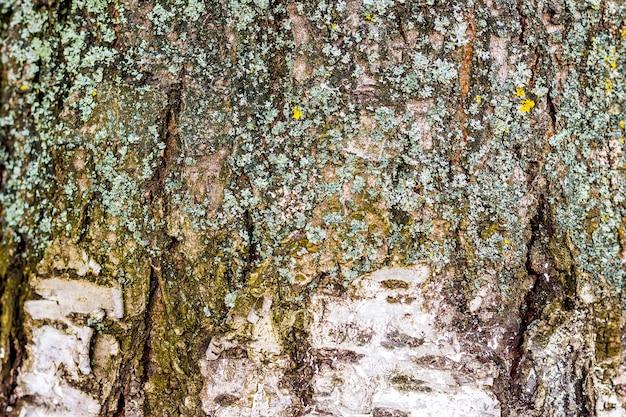 Tekstura kory brzozy ze śladami pęknięć i mchu