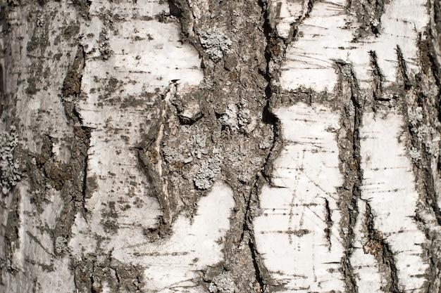 Tekstura kory brzozy