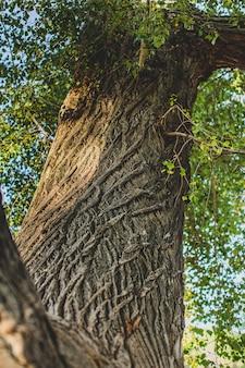 Tekstura kory na starym pniu drzewa